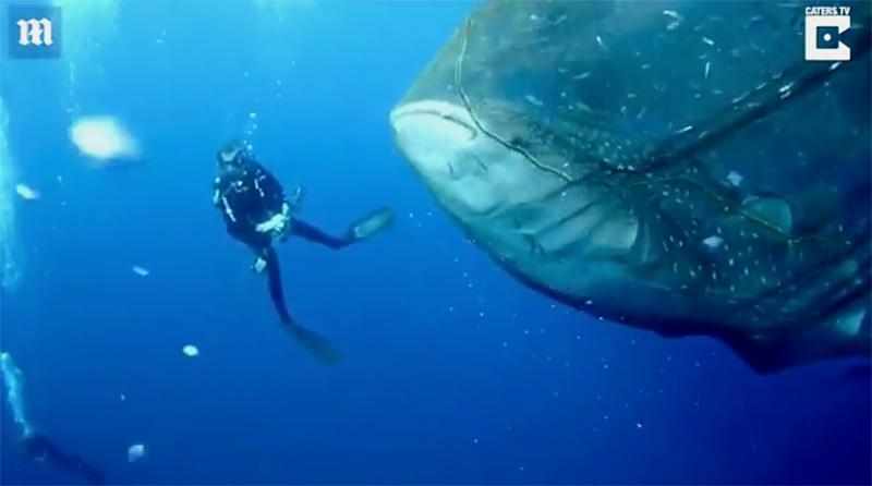 Дайверы спасли сразу четырех китовых акул