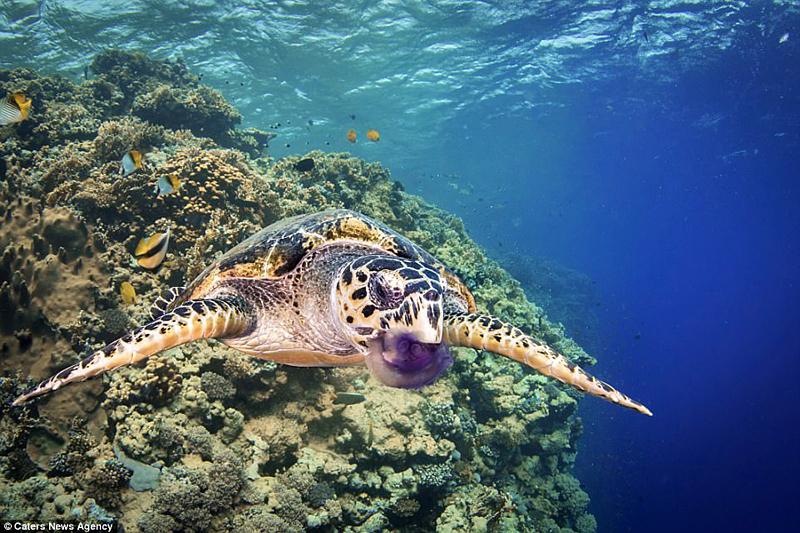 Дайвер спас погибающую от голода черепаху