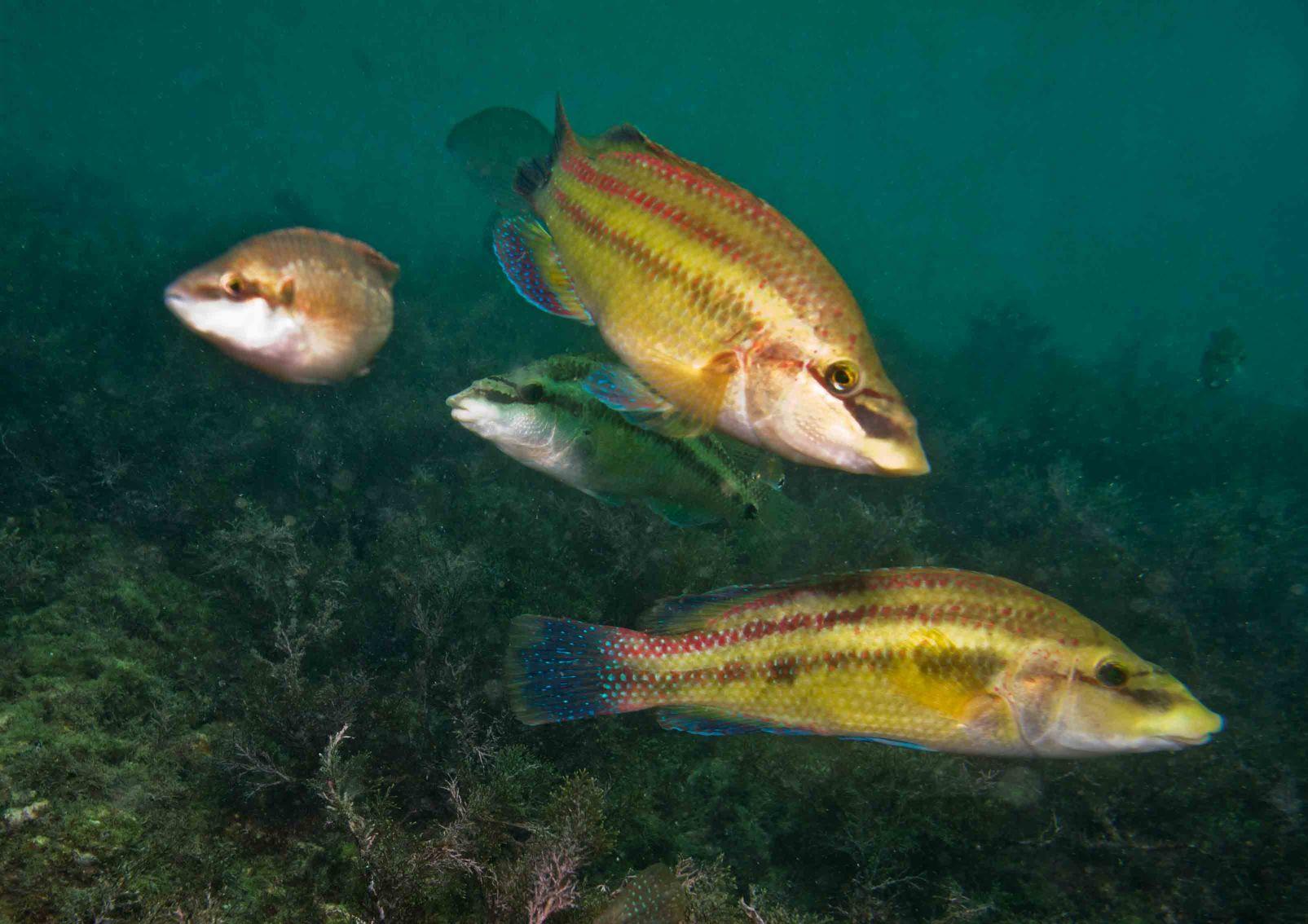 Виды рыб черного моря фото
