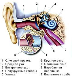 Схема уха