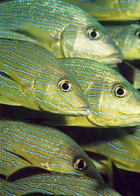 Дайвинг. Пять советов о том, как лучше фотографировать рыб.