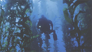 Дайвинг в подводных джунглях или погружение в зарослях ламинарии