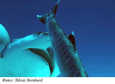 Подводная охота. Акулы.