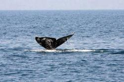 Серый кит у берегов Израиля – ученые в недоумении