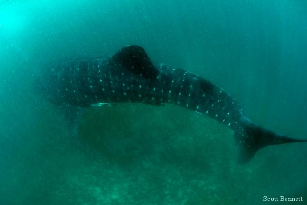 Туризм не влияет на китовых акул Нингалу-рифа