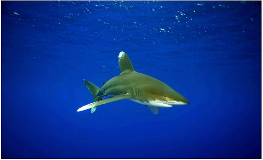 Создан крупнейший в мире акулий заказник