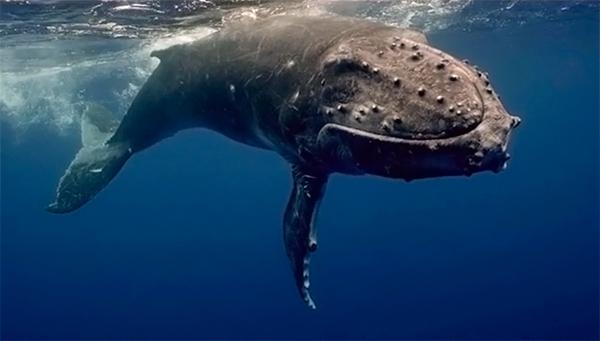 Как кит чуть на подводного оператора не упал