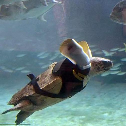 В Японии спасли морскую черепаху, пострадавшую от зубов акулы