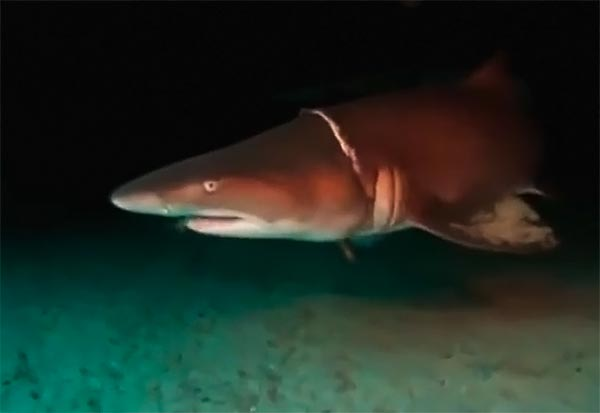 Как дайверы акулу спасали