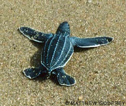 Дайвинг - Удивительные обитатели морей: черепаха-путешественница